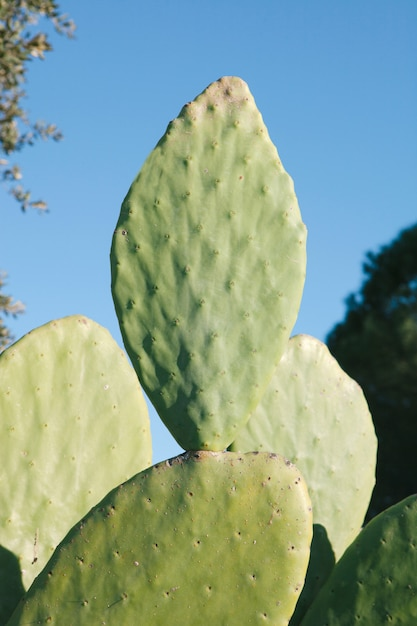 Large sheets of a type of cactus Premium Photo