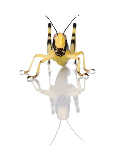 Ларва пустынной саранчи - schistocerca gregaria Premium Фотографии