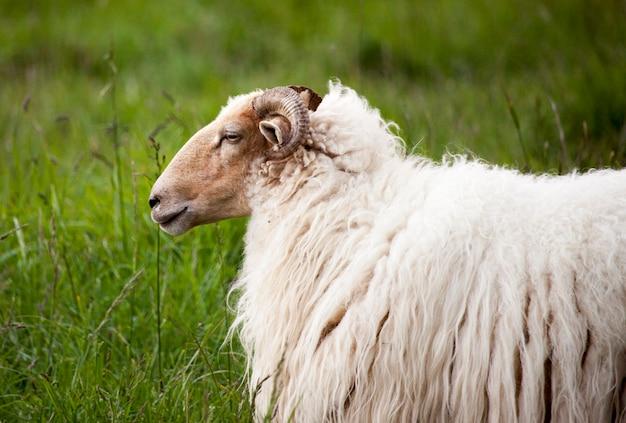 Latxa sheep Premium Photo