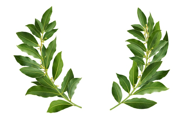 Laurel wreath made of fresh bay leaf branches, isolated on white background with clipping path Premium Photo
