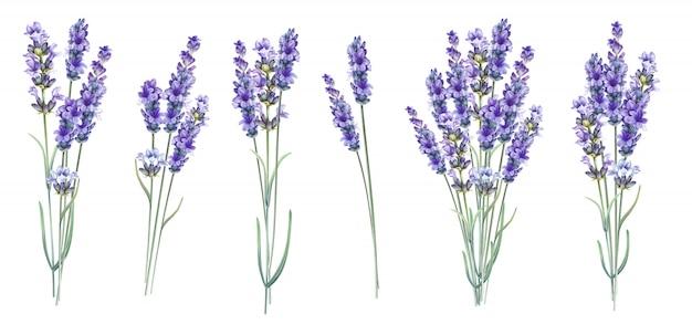 Lavandula aromatic herbal flowers. Premium Photo