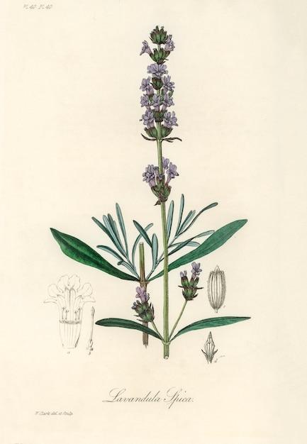 Лаванда (lavandula ipica) иллюстрация из медицинской ботаники (1836) Бесплатные Фотографии