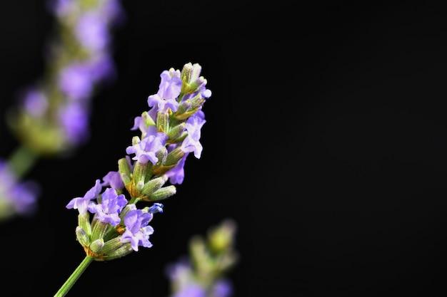 Лаванда. красиво цветущее фиолетовое растение - lavandula angustifolia (lavandula angustifolia) Бесплатные Фотографии