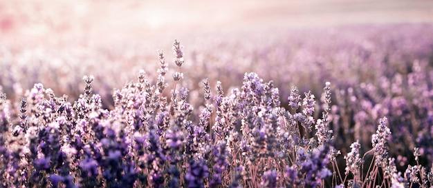 Лавандовое поле летом. ароматерапия. натуральная косметика. Premium Фотографии