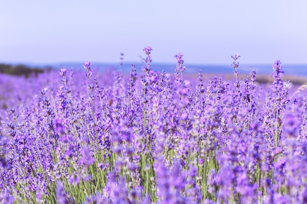 Premium Photo Lavender Field In The Summer Background Lavender background for desktop, mobile, iphone and tablets. https www freepik com profile preagreement getstarted 5352695