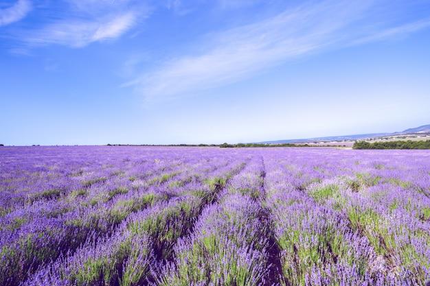 Lavender field in the summer Premium Photo