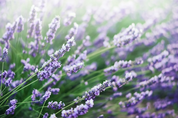 Lavender field in sunlight with copy space. Premium Photo