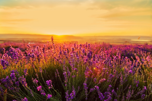 Lavender field at sunset. great summer landscape. Premium Photo