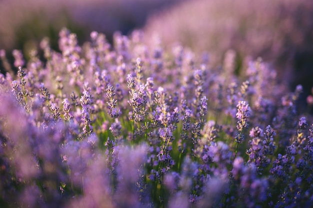 The lavender field at sunset Premium Photo