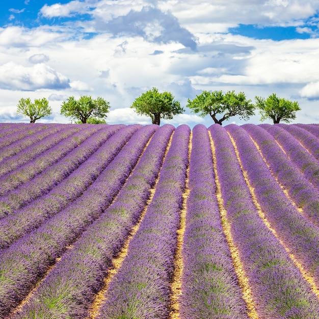 曇り空のラベンダー畑、フランス、ヨーロッパ Premium写真