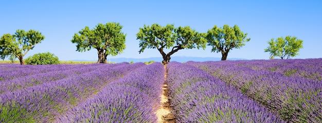 Лавандовые поля французского прованса, панорамный вид Premium Фотографии