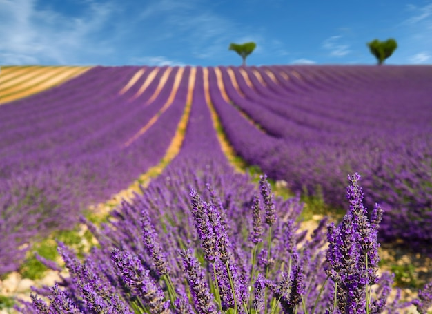 Lavender flower blooming scented fields Premium Photo