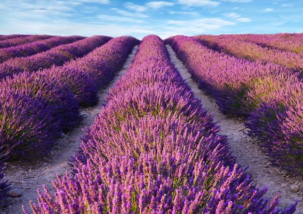Lavender flower blooming scented fields Premium Photo