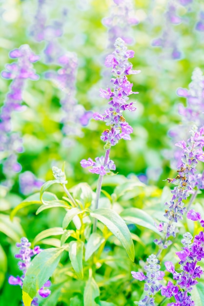 Lavender flower Free Photo