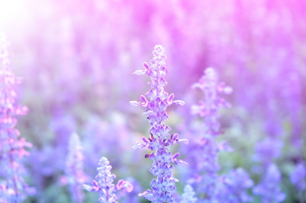 Lavender flowers background Premium Photo