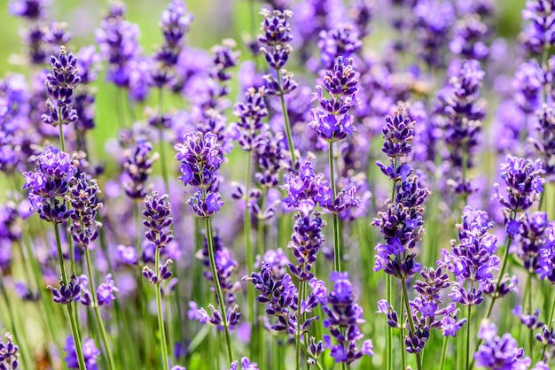 Lavender plant growing in a field in summertime Premium Photo