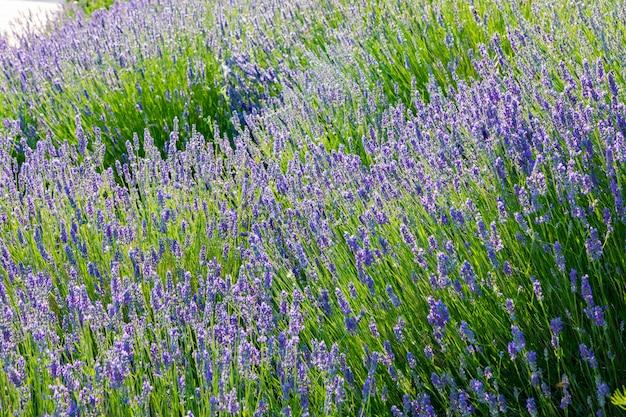 Лаванда, драгоценные декоративные растения, дикие с сиреневыми цветами, голубоватые, голубые. Premium Фотографии