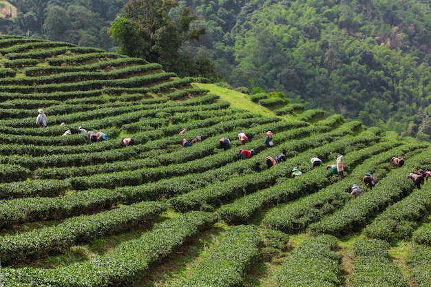 Layered tea garden along the shoulder of the valley Free Photo