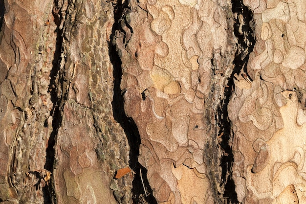 Layers of pine tree bark, photo close-up, visible details of plant protection Premium Photo