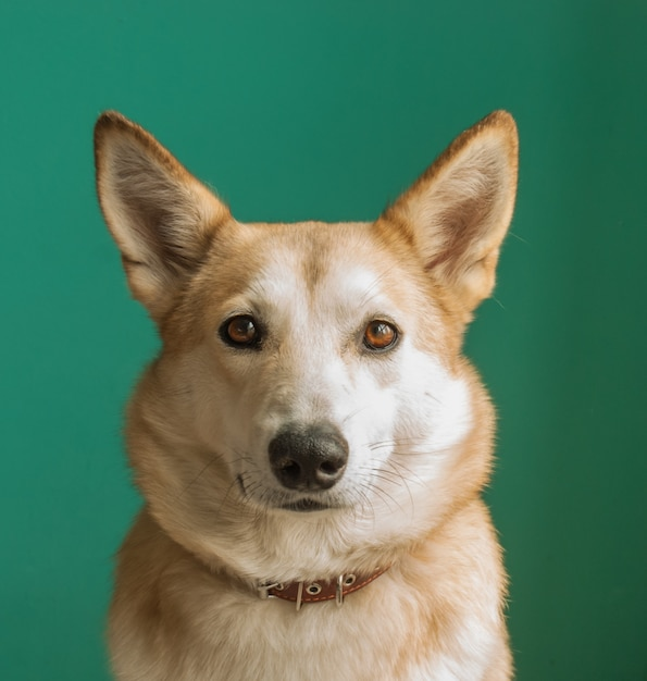Layka husky dog. detailed portrait on a blue background. Premium Photo