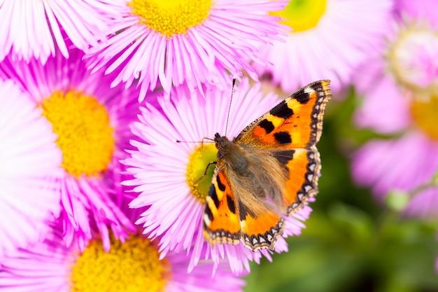 メキシコのleabまたはerigeron karvinskianusの花の上の小さなべっ甲(aglais urticae)。 Premium写真