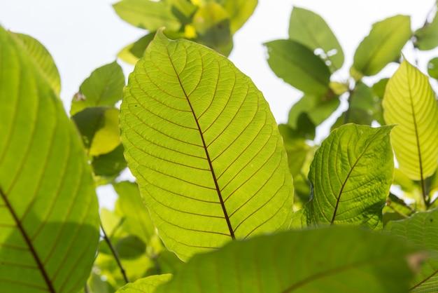 Leaf of mitragyna speciosa korth (kratom) a drug from plant Premium Photo
