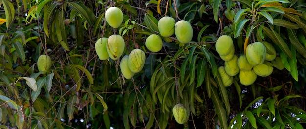Leafy mango tree with closeup on immature fruits. sao paulo state, brazil Premium Photo