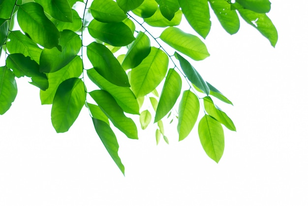 Leaved green natural background. Premium Photo