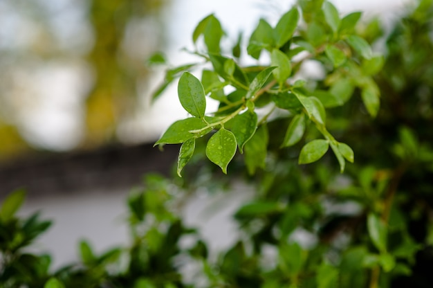 The leaves are not leafy in the rain. there are drops in leaves, shoots, leaves, soft leav Premium Photo