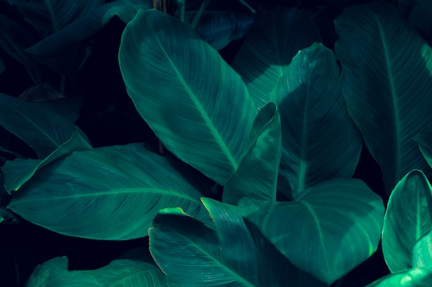 Leaves calathea ornata pin stripe background blue Premium Photo