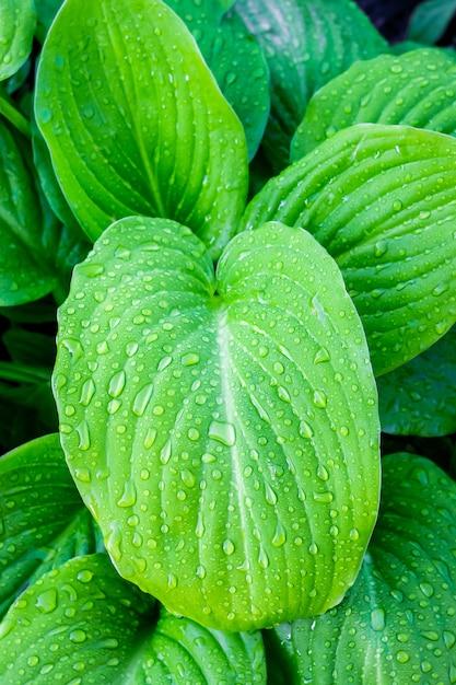 Листья хоста с каплями росы. утро в саду Premium Фотографии