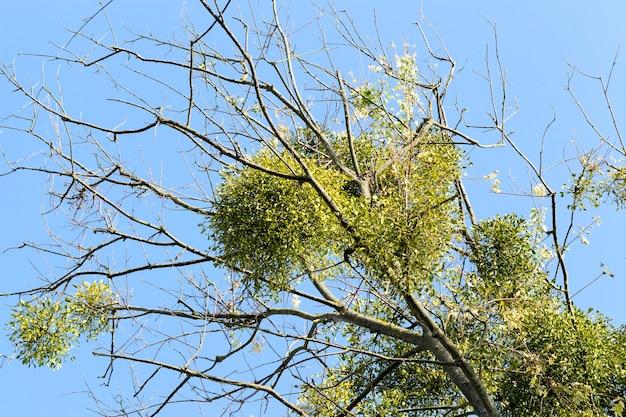 Листья белой омелы на ветвях дерева без листвы осенью Premium Фотографии