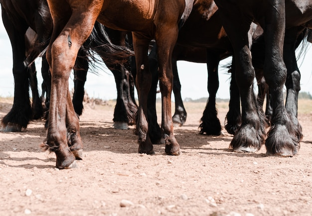 Legs of brown and black horses Free Photo