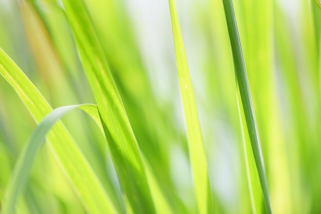 Lemon grass plant close up of green leaves for herb medicine food Premium Photo