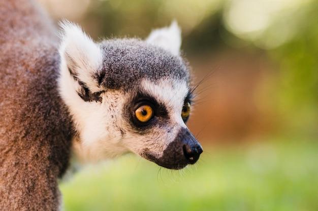 Lemur Free Photo
