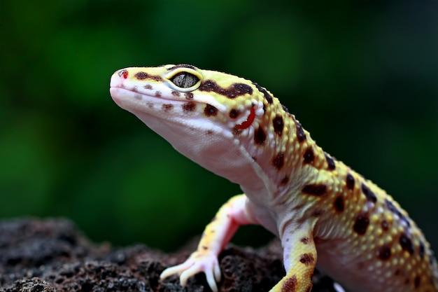 Leopard gecko on a stone Premium Photo