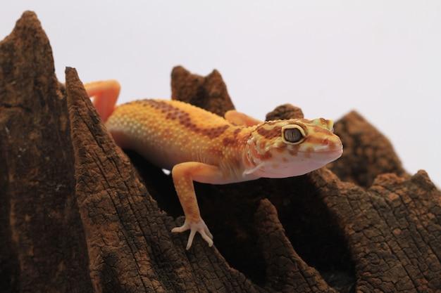 Leopard gecko on white background Premium Photo