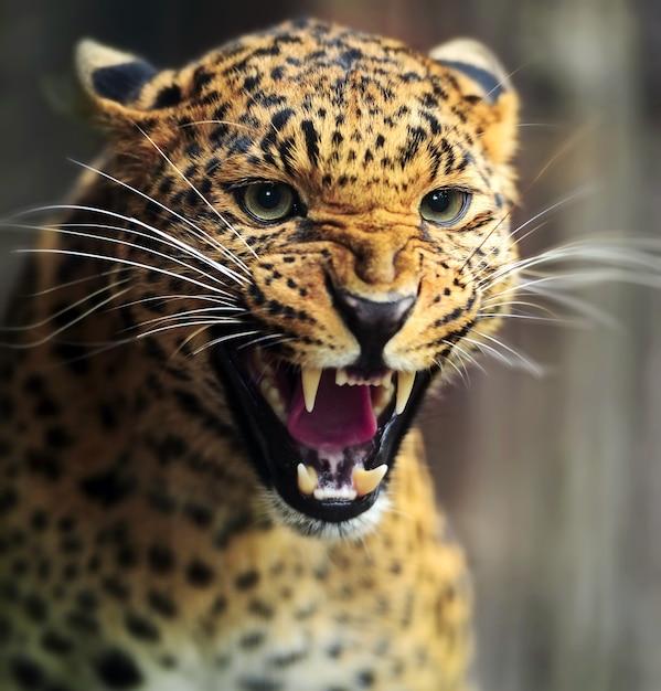 スリランカの島の野生のヒョウ Premium写真