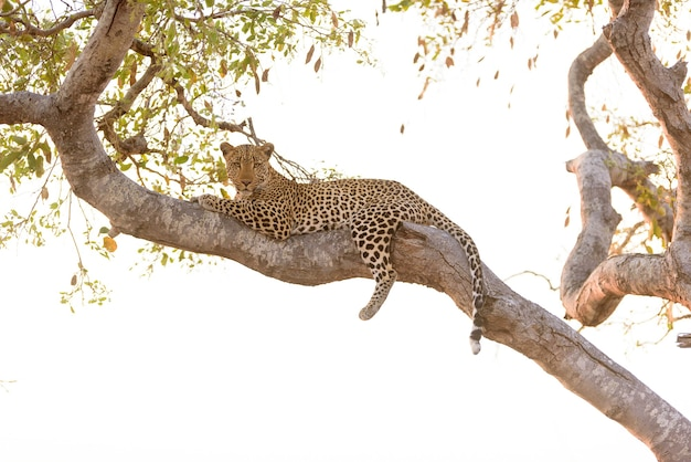 Leopard laying on a tree while looking down to the camera Free Photo