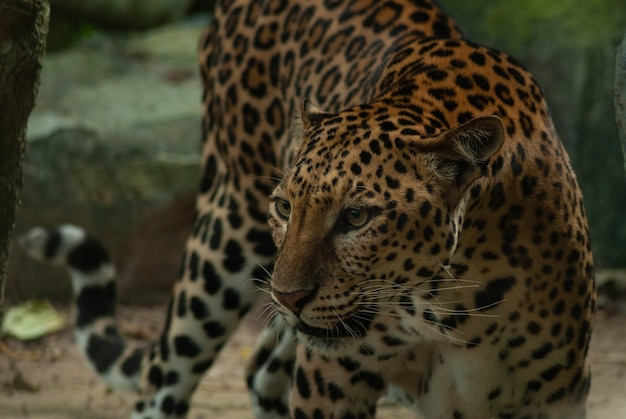 Leopard, panthera pardus, big spotted cat lying on the tree in the nature habitat, thailand Premium Photo