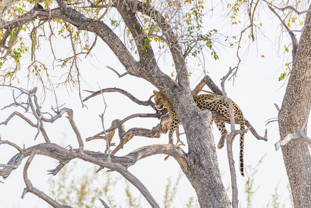 Leopard perching from acacia tree branch against white sky. wildlife safari in the etosha national park, main travel destination in namibia, africa. Premium Photo