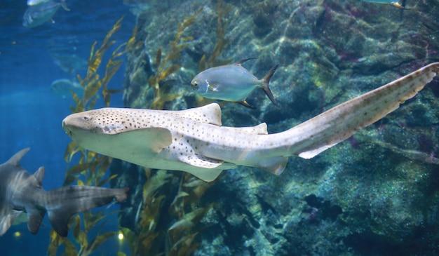 Leopard shark (zebra shark) swimming in blue water. Premium Photo