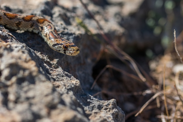 Leopard snake or european ratsnake, zamenis situla, slithering on rocks and dry vegetation in malta Free Photo