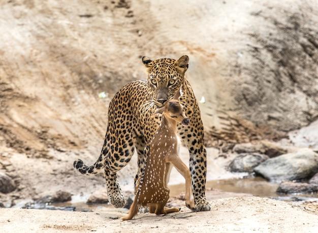 獲物とヒョウは林道を歩いています Premium写真