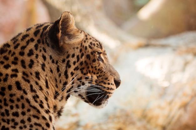Leopard Free Photo