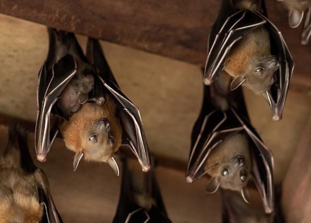 Lesser dog-faced fruit bat, cyneropterus brachyotis, mother with juvenile Premium Photo