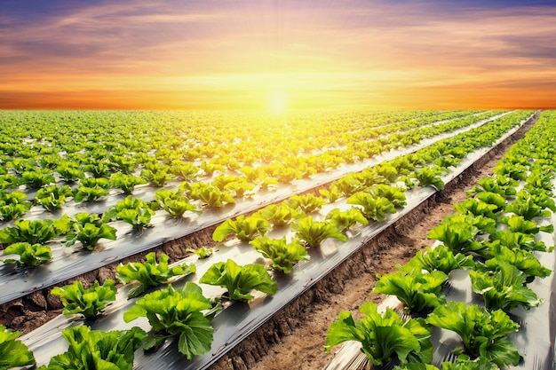 Lettuce plant on field vegetable and agriculture sunset and light. Premium Photo