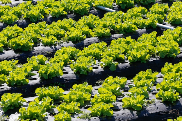 Lettuce plantation overview Premium Photo