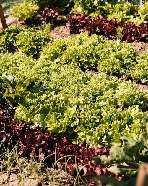Lettuce in the vegetable garden Free Photo