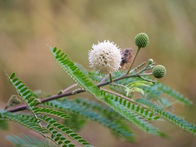 花leucaena leucocephala Premium写真